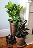 PLAT FIRM Germinacin de Las Semillas: Planta de Caucho Combo + Ficus Pandurata Bonsai -Fiddle Hoja de Parra