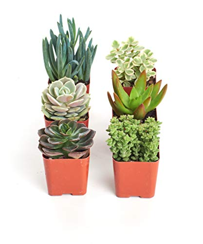 Shop Succulents | Unique Collection of Live Succulent Plants in 2'...