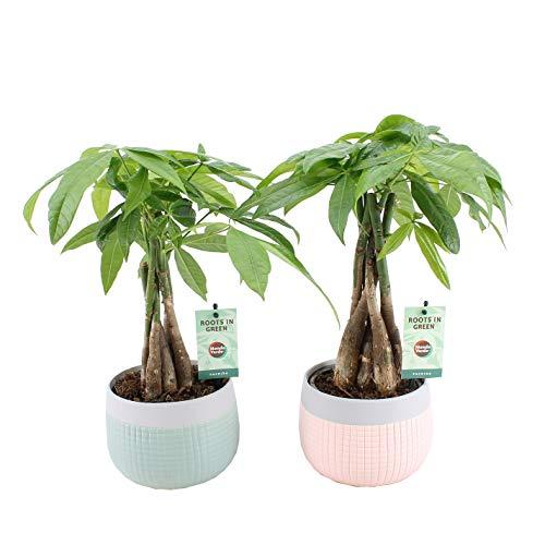 Plantes d'intérieur de Botanicly – 2 × Cacaoyer-rivière en pot céramique 'MINT-MOSAIC' comme un ensemble – Hauteur: 45 cm – Pachira aquatica