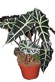 Planta de interior - Planta para el hogar o la oficina - Alocasia amazonica - Orejas de elefante - Aproximadamente 30 cm de alto