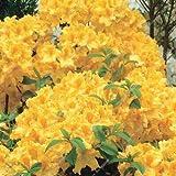 11: 100 Unids A Bag Rhododendron Azalea Flower Seeds, Raro Diy Plant Home Garden Bonsai, Japan Cherry Sakura Flowerpots