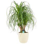 Plante d'intérieur de Botanicly – Noline recourbée en pot de fleur crème comme un ensemble – Hauteur: 100 cm – Beaucarnea recurvata