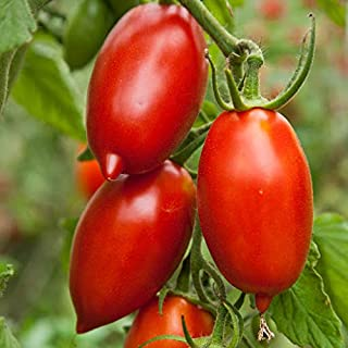 Tomato, Amish Paste ~ Heirloom-From The Amish Here In Pennsylvania ~ 100 Seeds!