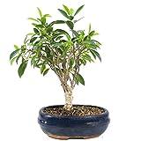 Higuera, Ficus retusa, bonsai da interno, 10 aos, altura 27 cm