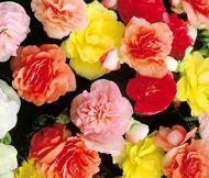 HOO PRODUITS DE/sac de graines de bégonia, fleur bonsaï couleur mélangée Graines graines Begonia jardin familial en pot plante Begonia balcon pas cher