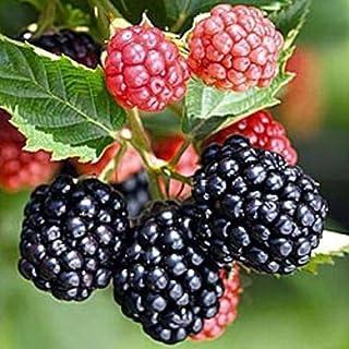 Triple Crown Thorn Less Blacberry Qty 3