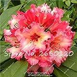 Multicolor: 50 Unids/bolsa Semillas de Azalea Japonesas Semillas de Flores de Rododendro Semillas de rboles de Plantas Cubierta de Flores 24 Colurs Bonsai Diy Home Garden Aaaa