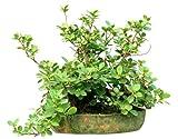 Ficus hispida raras semillas de la higuera de la planta tropical ornamental Bonsai o estndar (10 Semillas hay seguimiento)