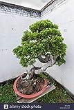 semillas deodara edrus Cedrus Deodara de conferas semillas de rboles bonsai de interior Planta de luz azul Deodara Cedar semillas 10pcs / bag 3