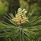 25 semillas de Austrian pino/Pinus Nigra Austriaca