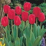 Bulbi di tulipano per piantare/In vaso popolare tra i consumatori / Di fama mondiale/Piante / Fiori-5 Lampadine,Rosso
