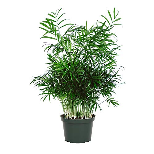 AMERICAN PLANT EXCHANGE Chamaedorea Elegans Victorian Parlour Palm Live Plant, 6' Pot, Indoor/Outdoor Air Purifier