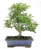 Bonsai - Falso pinimiento, 16 Aos (Bonsai Sei - Zanthoxylum Piperitum)