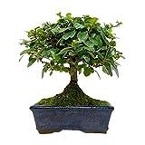 Bonsi Carmona Microphylla 5 Aos T de Filipinas, T de Fukien o Arbusto Escorpin