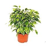 Ficus Benjamina Variegata Kinky Planta de Interior Pequea Planta Natural