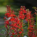Cardinal Flower 'Red Lobelia' 100 Seeds