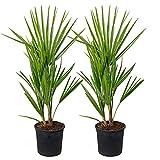 Chamaerops 'Humilis'   Palmier nain européen par lot de 2 - Plante d'extérieur...