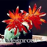 SONIRY Teure Jade Cents Bonsai (Matucana Madisoniorum) Pflanzen Sukkulenten Pflanzen Cactus Bonsai DIY Hausgarten -100pcs: 1