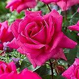 Rosa'Criterion'   Fleurs roses   Gros...