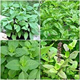 Live Plant - HOLY Basil Plants~TULSI~Sacred Basil Well Rooted Live Plants 5 to 7 INCHES, for Gardening