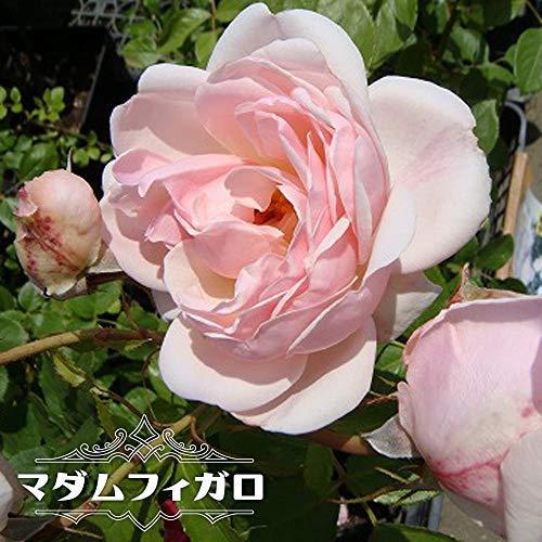 バラ苗 マダムフィガロ 7号スリット大苗 デルバール (Del) 四季咲き