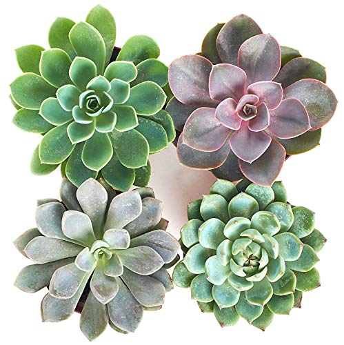 Shop Succulents   Radiant Rosette Live Plants, Hand Selected Variety Pack of Succulents   Collection of 4 in 4 pots, Pack of 4