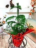 Easy Plants 1 Norfolk Araucaria heterophylla Planta en Maceta con Envoltorio de celofn para Regalo, 50/60 cm de Alto