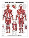 The Muscular System Anatomical Chart Poster Print...