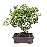 Bonsi Pyracantha de 7 Aos rbol Espino de Fuego Planta Natural