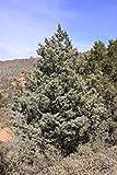 100 Semillas Cipres Azul, Cipres de Arizona (Cupressus Arizonica)