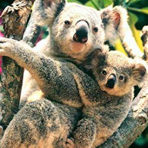 El koala grande respalda al pequeño koala - Adultos Niños Puzzle 1000 Piezas Clásico Madera Diy Toys Regalo