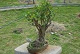 300 Semillas Ficus infectoria, Semillas, rbol, rbol Pilkhan semillas blancas Fig