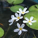 (ビオトープ)水辺植物 バナナプラント(殖芽無)(1ポット)浮葉植物