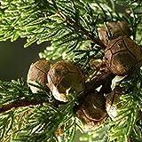 VISA STORE Monterey Semillas de semillas (Cupressus macrocarpa) 25 + Semillas