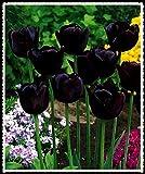 Tulipani bulbi-Strane decorazioni di fiori di San Valentino Dolce specie rare Pianta vivente Impressionante