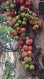 Ficus racemosa, ficus Glomerata, 20 Semillas limpias