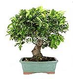 Bonsai - Espino de fuego, 14 Aos (Bonsai Sei - Pyracantha)