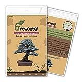 Bonsai Colorado Blue Spruce (Picea pungens) las semillas del rbol de hoja perenne 50pcs
