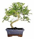 Bonsai - Falso pimiento, 6 Aos (Bonsai Sei - Zanthoxylum)