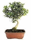 Bonsai - Acebuche, 7 Aos (Bonsai Sei - Olea Europaea Sylvestris)