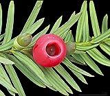 VISA STORE Taxus baccata - Tejo Ingls - 20 Semillas Frescas