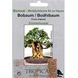 Tropica Bonsai rbol Bo/Bodhi (Ficus religiosa) - 200 semillas
