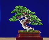 Portal Cool 10 Semillas de Juniperus chinensis, enebro Chino, Bonsai Semillas C