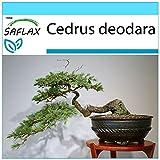 SAFLAX - Set regalo - Cedro del Himalaya - 35 semillas - Con caja regalo/envo, etiqueta para envo, tarjeta de felicitacin y sustrato de cultivo y fertilizante - Cedrus deodara