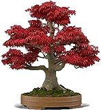 UEYR Arce Rojo japons Bonsai 20 Semillas - Acer palmatum/Real Hermosa purificador de Aire Bonsai