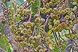 UEYR 10 Semillas Ficus auriculata Elefante earSeeds Ornamentales Tropicales Raras estndar o contenedor o al Aire Libre Liquidaciones Precio