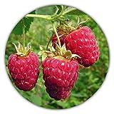 Framboise géante - 50 graines - Rubus idaeus - Pour plantes vivaces - Fruits sains...