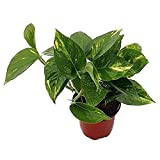 9GreenBox - Golden Devil's Ivy - Pothos - Epipremnum - 4' Pot - Very Easy to Grow Live Plant Ornament Decor for Home, Kitchen, Office, Table, Desk - Attracts Zen, Luck, Good Fortune - Non-GMO, Grown in the USA