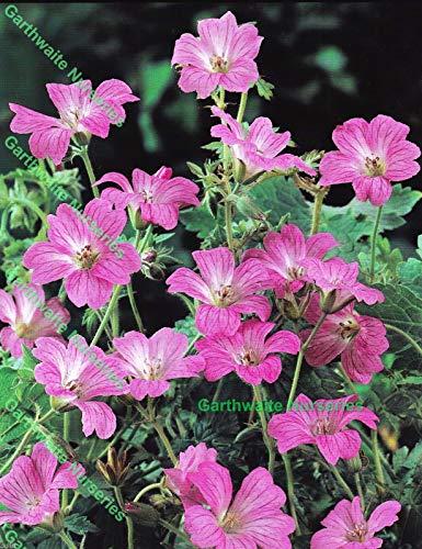 Portal Cool In Vaso 1 Litro Geranium (Cranesbill) Endressii Rosa Hardy pianta perenne Estate