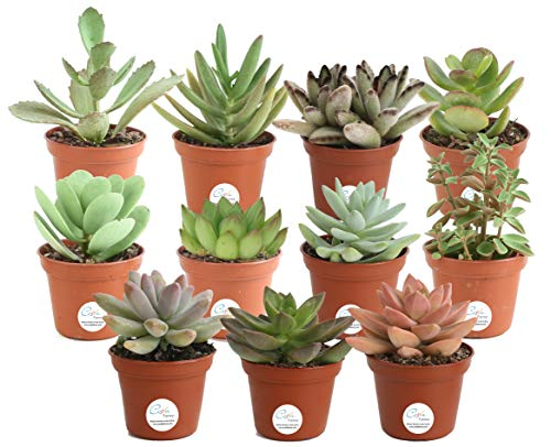 Costa Farms Succulents Fully Rooted Live Indoor Plant, 2-Inch Grower's...